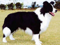 Bordermania All Hell Breaks Loose border collie